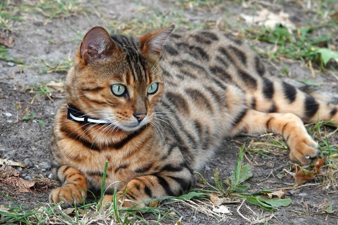Bengalisk katt